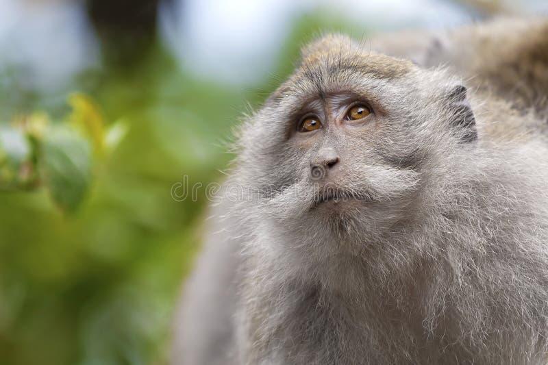Lång-tailed Macaqueapa royaltyfri bild