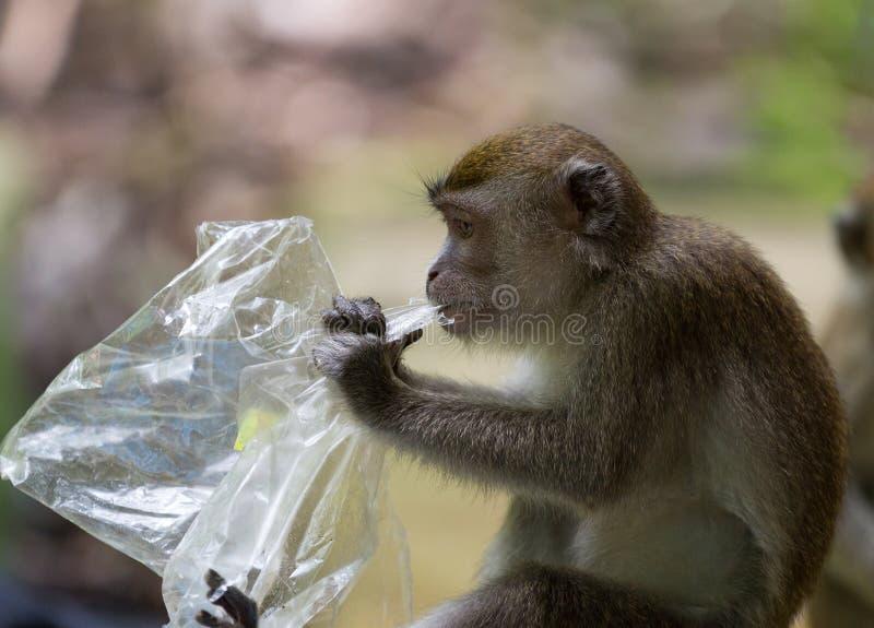 Lång tailed macaqueapa som äter plastpåsen i den Bako nationalparken i Borneo, Malaysia arkivbild