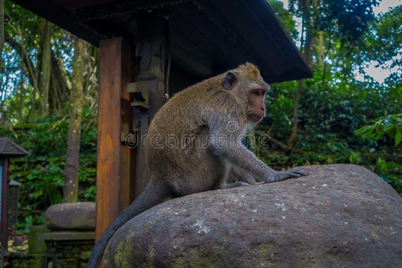 Lång-tailed macaquesMacacafascicularis i Ubuden härmar Forest Temple på Bali Indonesien royaltyfri bild