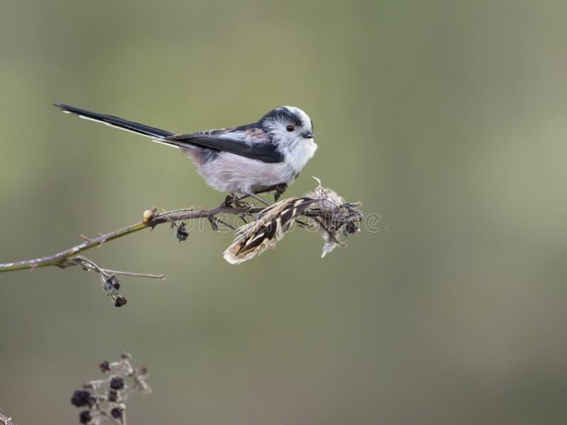 Lång-tailed mes, Aegithalos caudatus arkivfoton
