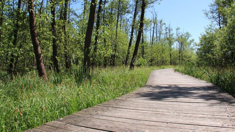 Lång träbro och våtmark med gröna vasser arkivbilder