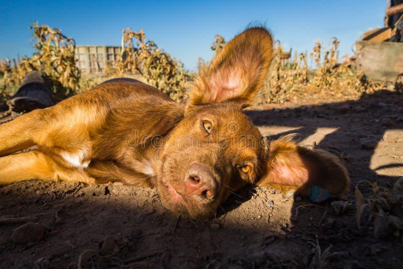 Långa öron bryner sömnigt ligga för valp på jordningen i solljus royaltyfria foton