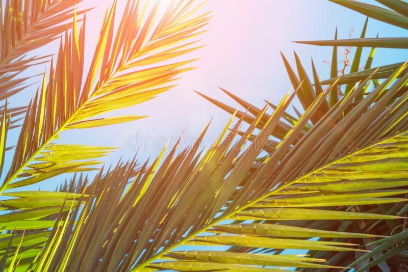 Långa spetsiga fjäderlika palmträdsidor i guld- rosa solljus blossar blå himmel Hipster tonad affischbanermall Tropiska Foliag arkivbild