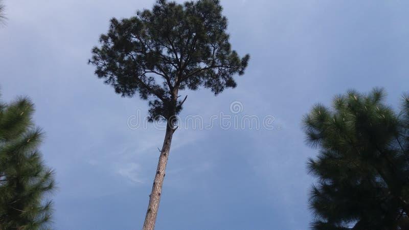 Långa träd royaltyfri bild