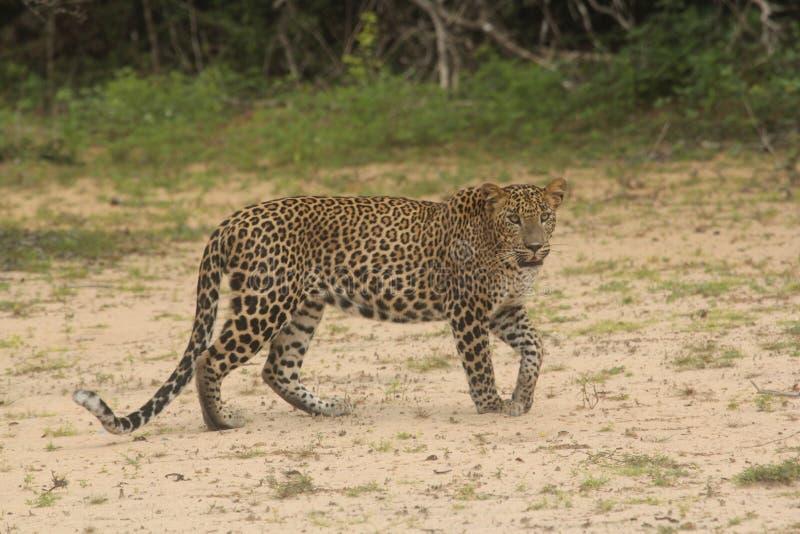 Långdistans- iakttagelse som framåtriktat går, är en skicklig jägareleopard det ` s en unik hudhjälte arkivbild