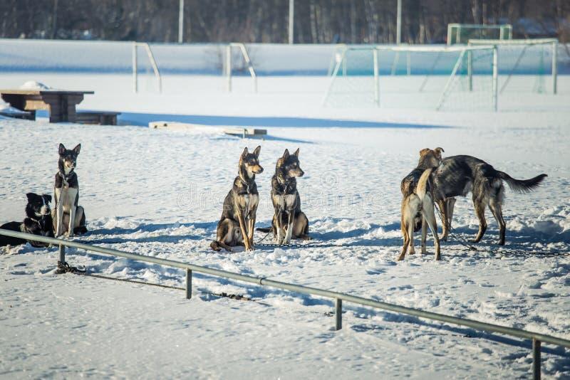 Långdistans- siberian slädehund i buren som väntar på ett lopp royaltyfria bilder