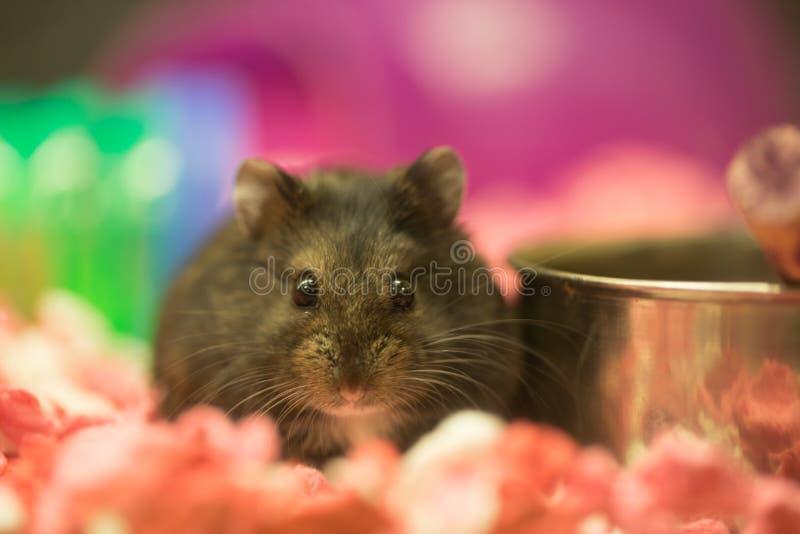 Långhårig hamster - Mesocricetusauratus royaltyfria bilder