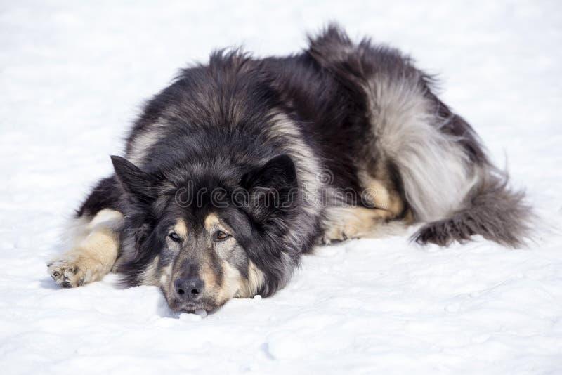 Långhårig tricolour tysk herde som ligger koppla av ner i snön royaltyfria bilder