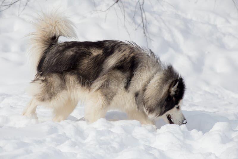 Långhårigt skrovligt för siberian sniffar spårar på vit snö Älsklings- djur royaltyfria foton