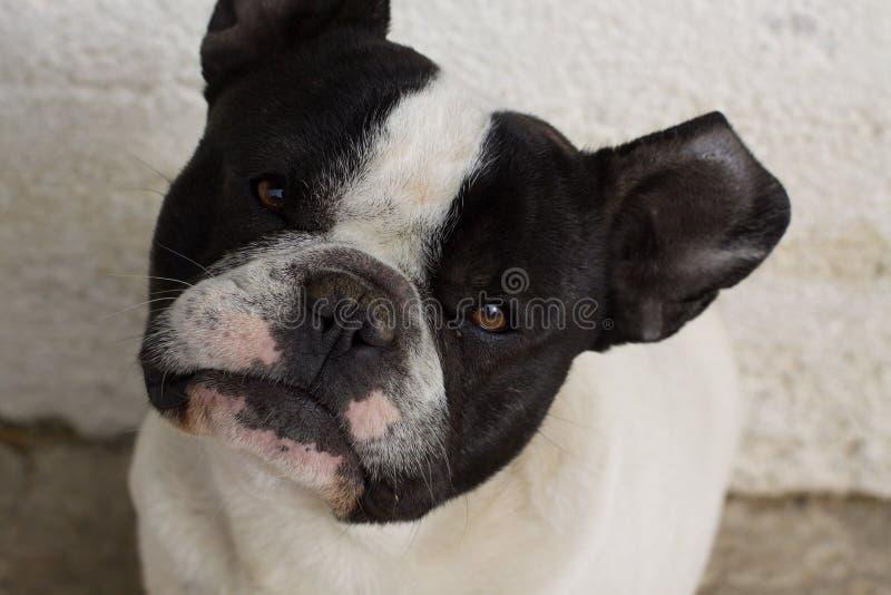 Långsam fransk bulldogg att förstå arkivbilder