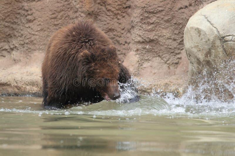 Långt - östlig brun björn arkivbilder