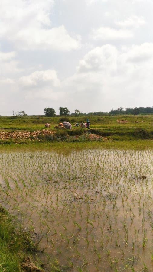 Långt där kvinnor som arbetar i risfältet arkivfoto