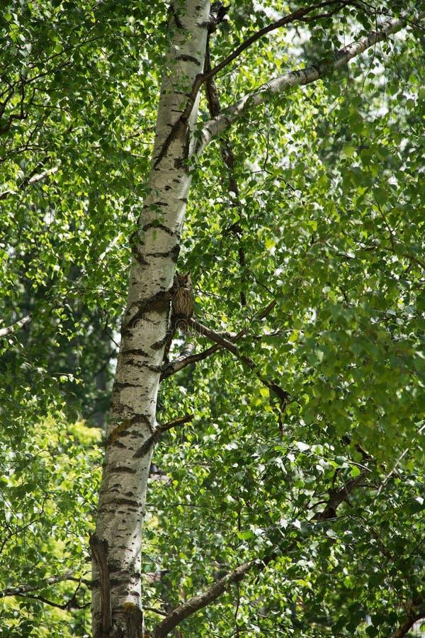 Långt gå i ax ugglasammanträde på en filial av en björk arkivfoton