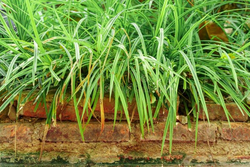 Långt gräs på tegelstenarna arkivbilder