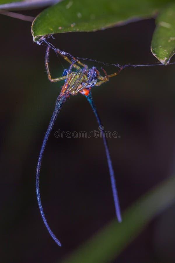 långt horn för härlig spindel på bladet royaltyfria foton