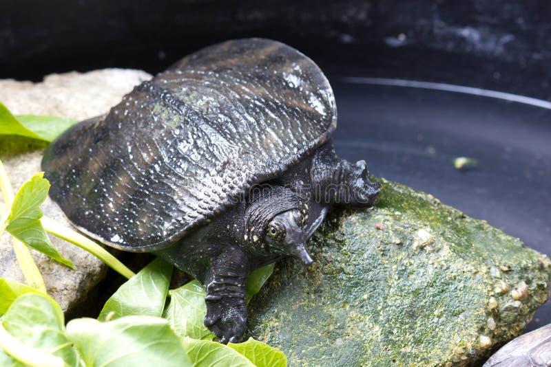 Låsande fast sköldpadda royaltyfri bild