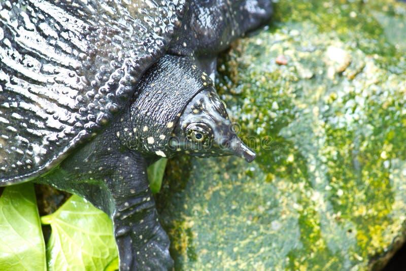 Låsande fast sköldpadda fotografering för bildbyråer