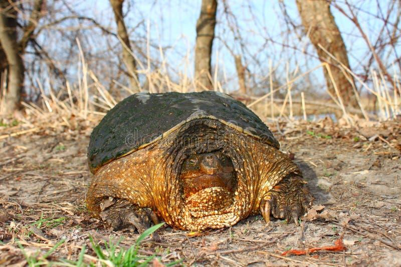 låsande fast sköldpadda för chelydraserpentina royaltyfri bild