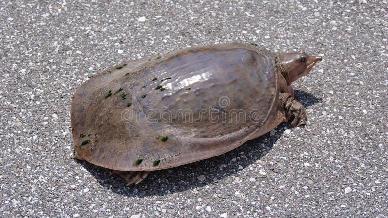 Låsande fast sköldpadda på en väg arkivbild