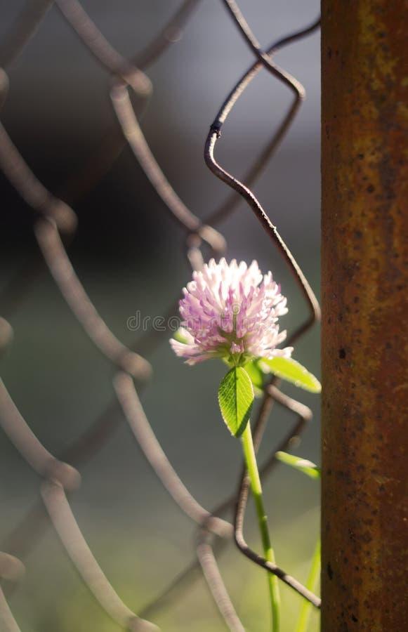 Låst växt av släktet Trifolium fotografering för bildbyråer