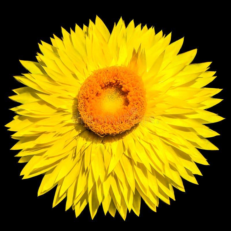 Låt solen skina, det guld- evigt eller strawfloweren royaltyfri foto