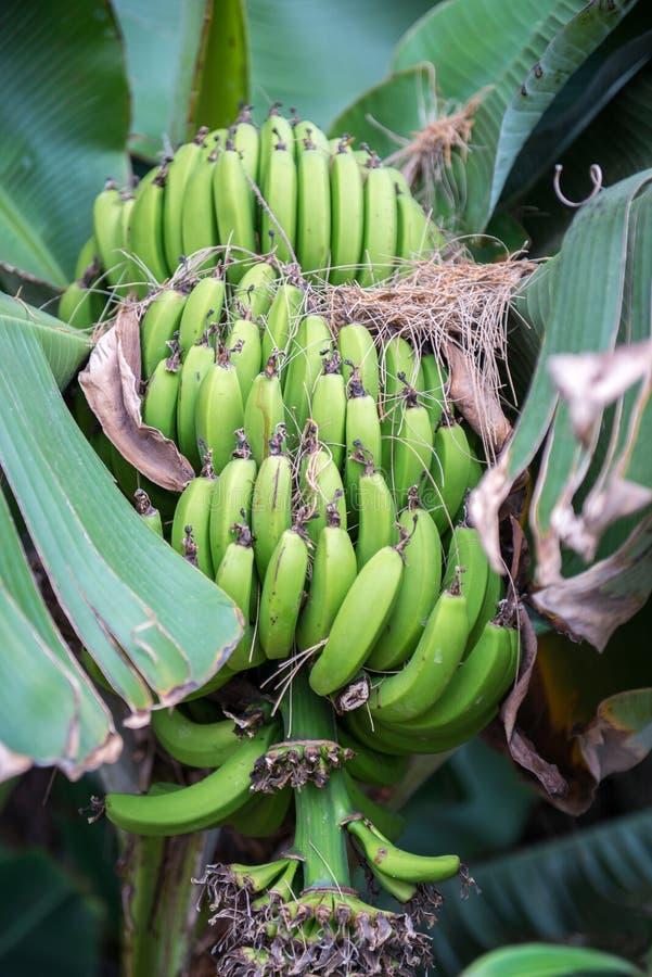 låter vara stor ljus tät green för bananen upp treen arkivbilder