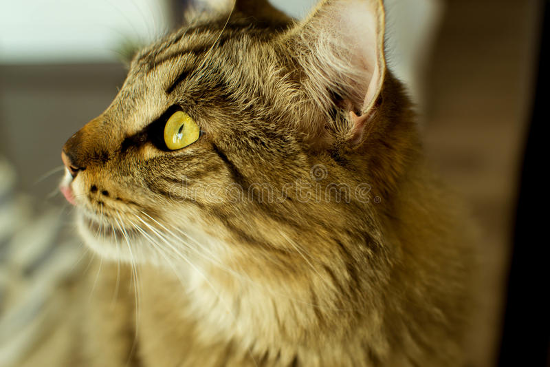 Lèvres de Cat Licking regardant vers le haut photo libre de droits