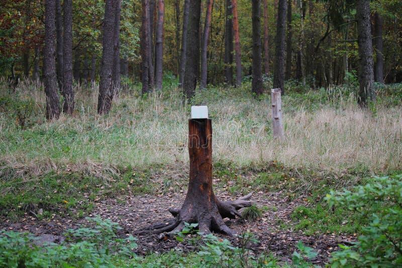 Léchage de cerfs pour animaux sauvages dans une forêt photographie stock libre de droits