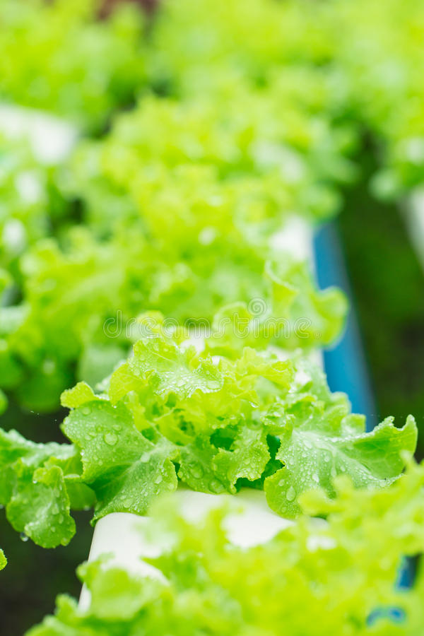 Download Légume De Culture Hydroponique Image stock - Image du nutrition, cuisinier: 45368273