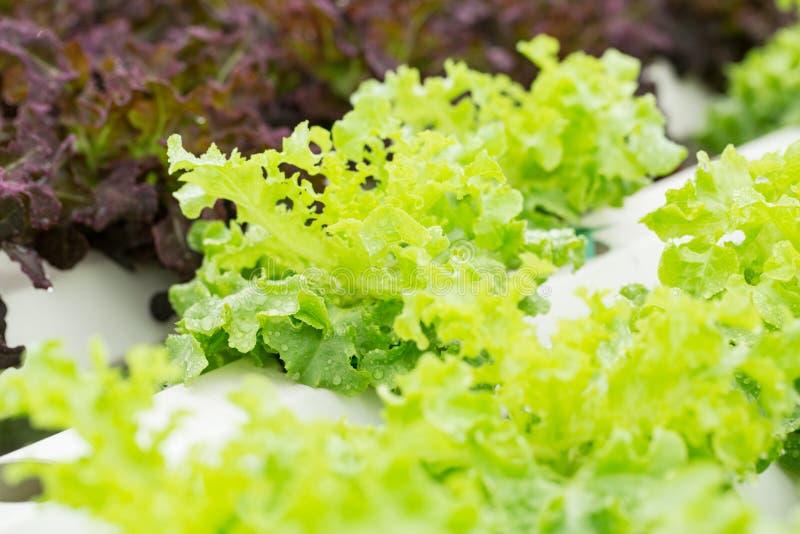 Download Légume De Culture Hydroponique Photo stock - Image du agriculture, développez: 45368474