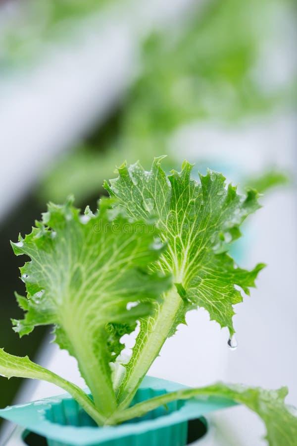 Download Légume De Culture Hydroponique Image stock - Image du asiatique, nutrition: 45369303