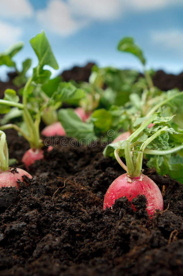Légume organique de radis photographie stock