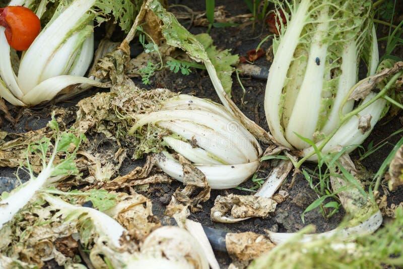 Légumes endommagés par la maladie de parasite image stock
