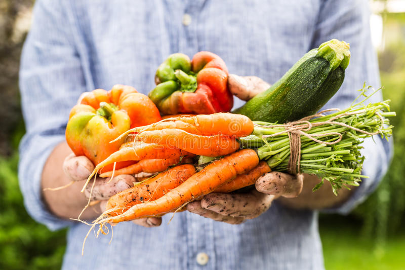Légumes humides frais dans le gardener& x27 ; mains de s - ressort photos stock