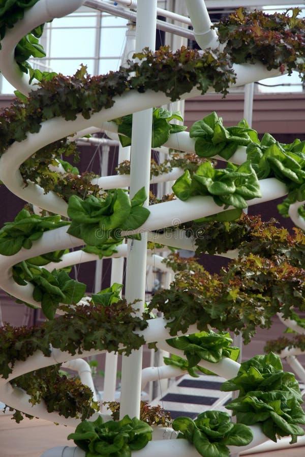 Légumes hydroponiques photos libres de droits