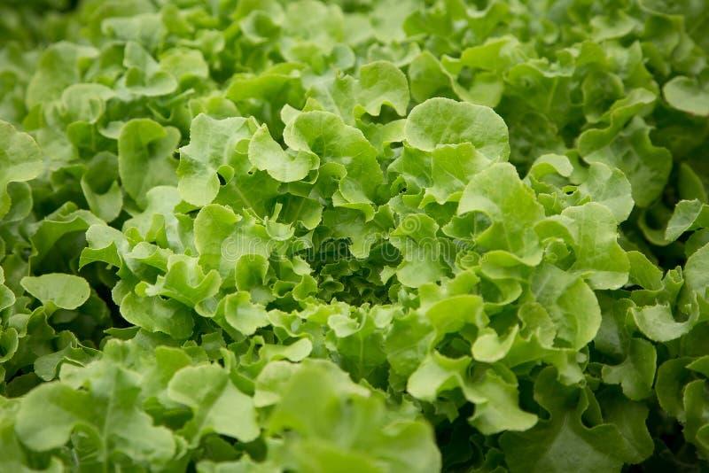 Légumes organiques dans la ferme hydroponique photo stock
