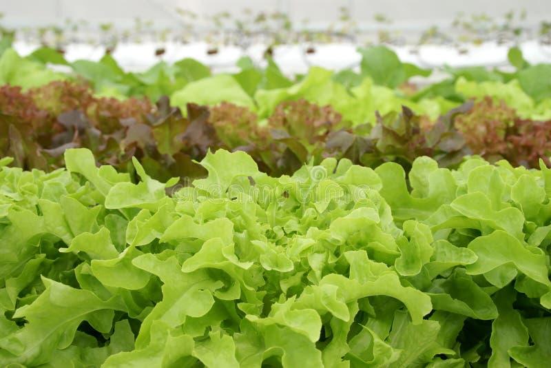 Légumes organiques en serre chaude hydroponique image libre de droits
