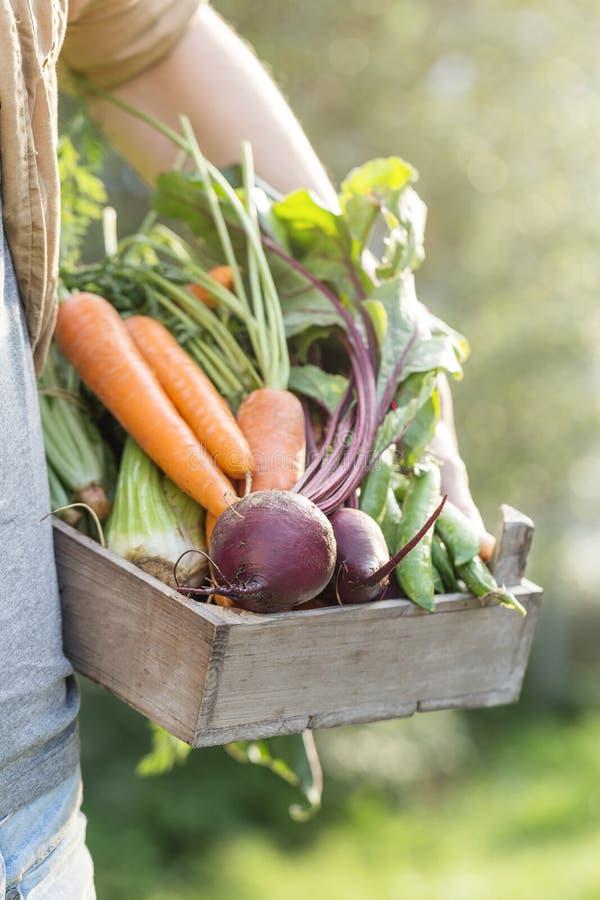 Légumes savoureux frais d'Adult Man Holding d'agriculteur dans la boîte en bois dedans photographie stock libre de droits