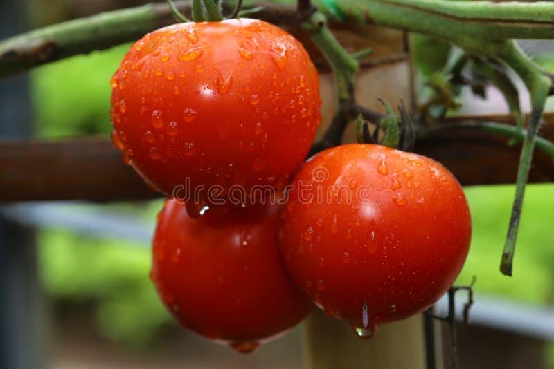 Légumes, tomates images stock