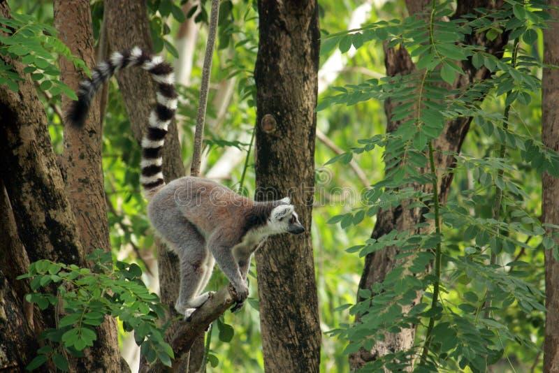 Lémur photos stock