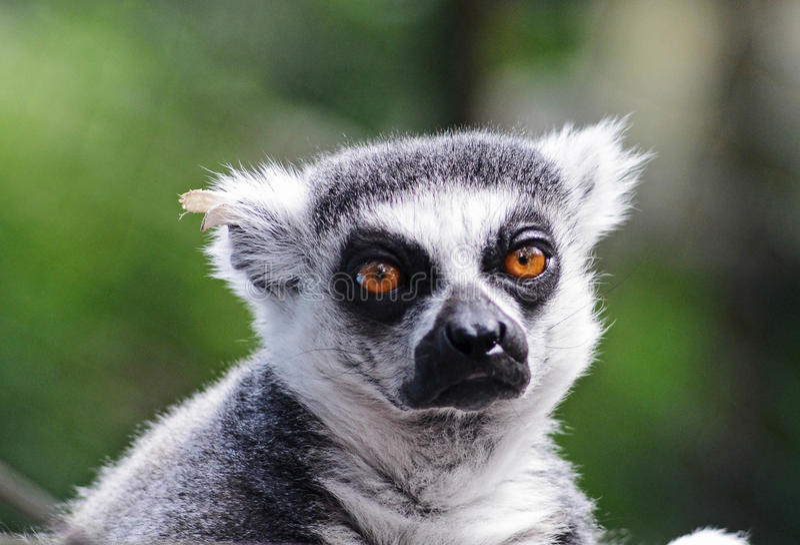Lémur image stock