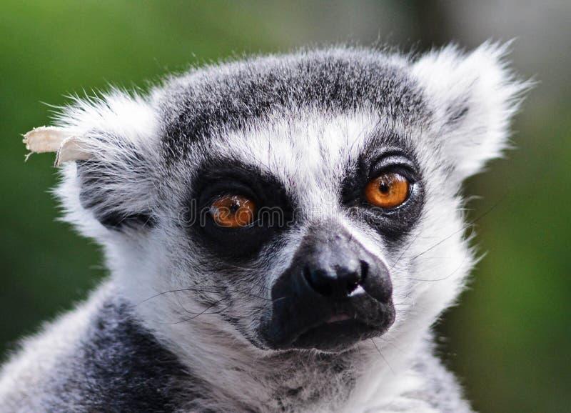 Lémur photographie stock