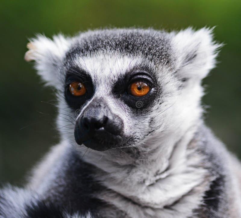 Lémur images stock