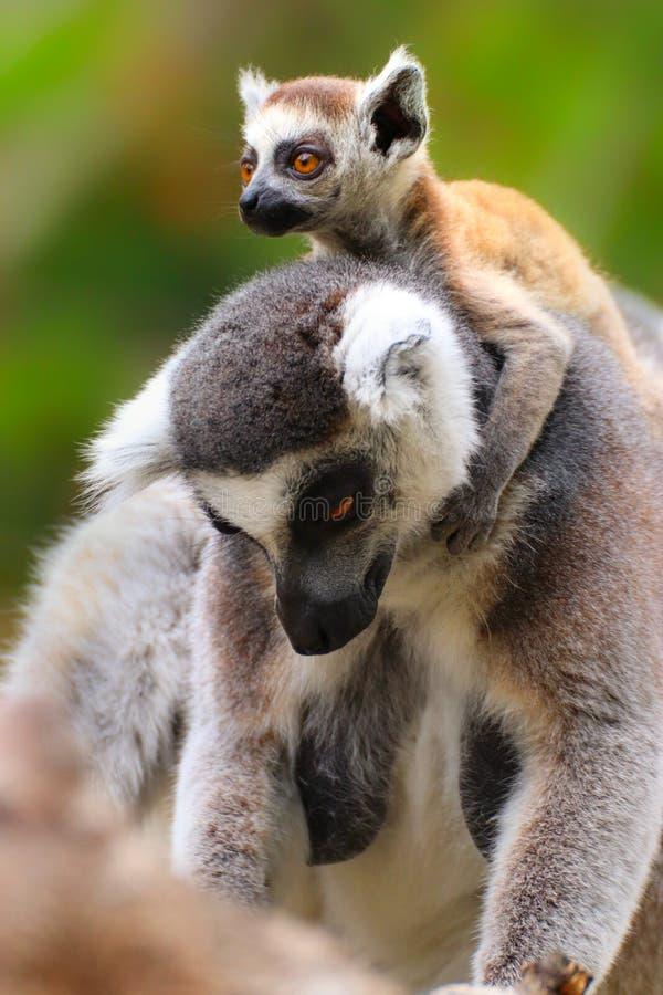 Lémur adulte avec le lémur de bébé images stock