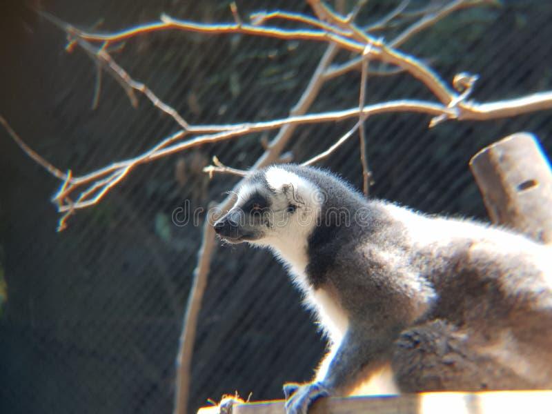 lémur anillado de la cola en un parque zoológico foto de archivo