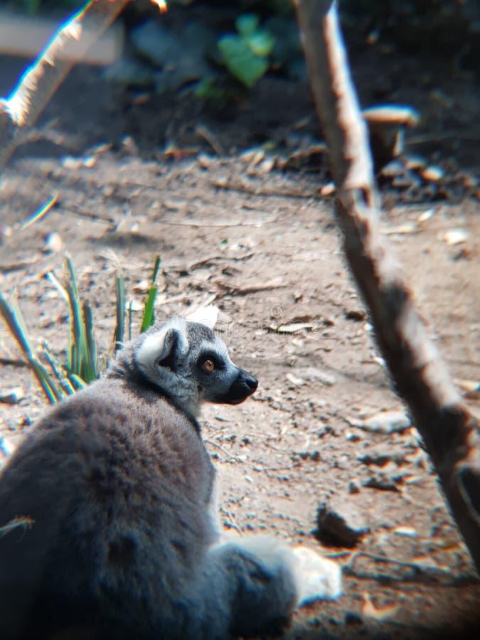 lémur anillado de la cola que mira en un parque zoológico foto de archivo