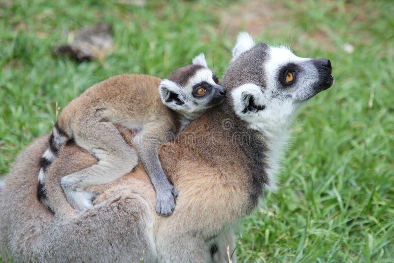 lémur Anillo-atado Catta con el bebé foto de archivo