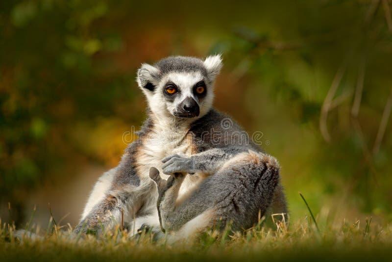 lémur Anillo-atado, catta del lémur, con el fondo claro verde primate grande del strepsirrhine en el hábitat de la naturaleza Ani foto de archivo libre de regalías