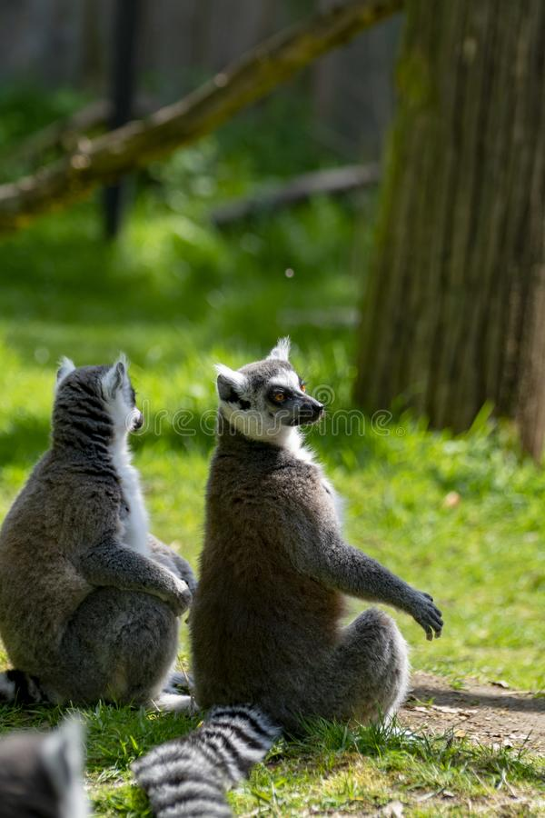 lémur Anillo-atado, catta del lémur, sentándose en hierba verde foto de archivo