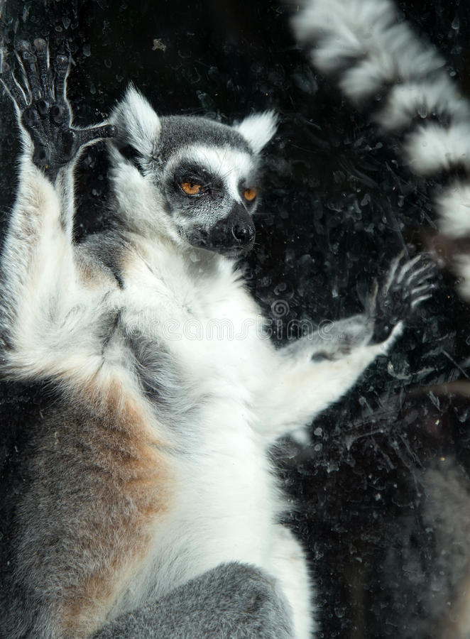 lémur Anillo-atado (lémur Catta) detrás de un parque zoológico de cristal de la pajarera imagenes de archivo
